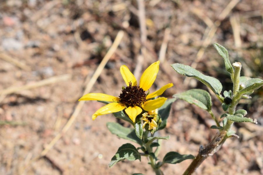 A wildflower growing near the football field